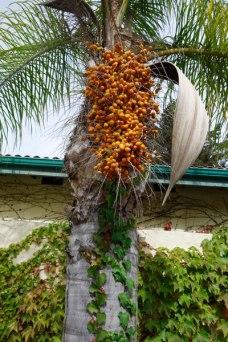 palmharvest2