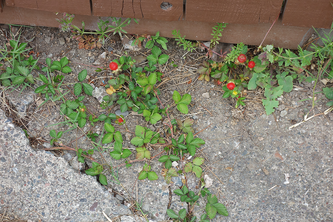 StrawberryiesConcrete2019 copy